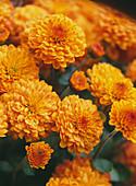 Chrysanthemum indicum 'Balsa'