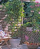 Actinidia arguta (kiwi) 'Issai'
