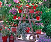 Pelargonium zonal 'Deep Scarlet', 'Exotica Happy Orange'