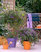 Solanum rantonnetii (gentian shrub)
