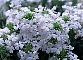 Verbena 'Superbena White'