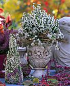 Erica gracilis and Calluna vulgaris heath, Parthenocissus wild wine