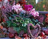 Cyclamen persicum / Alpenveilchen, Calluna und Erica / Heide, Heuchera 'Strawberry