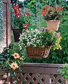 Dichondra 'Silver Falls', Hibiscus rosa-sinensis, Antirrhinum