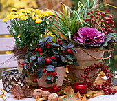 Chrysanthemum 'Improved Tedcha', Gaultheria 'Winter Pearls' / Showberry, Brassic