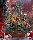 Capsicum annuum, Viola cornuta 'Sorbet Orange Duet'