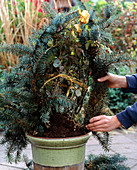 Winter protection for tub roses