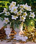 Helleborus niger (Christmas rose), Pinus strobus (Silk pine)
