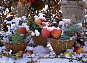 Rustic pots with malus (apple), cupressus (cypress), abies