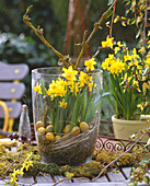 Narcissus 'Tete A Tete' (Daffodil) with deadwood, moss, grass