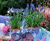 Muscari armeniacum (grape hyacinth) primula acaulis
