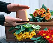 Plant primrose box