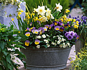 Narcissus 'Mount Hood' and 'Tete A Tete' (Daffodil, Viola)