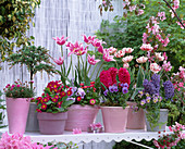 Tulipa 'Claudia', 'Carnival De Nice' (Tulip), Hyacinthus