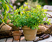 Galium odoratum (woodruff) in clay pot
