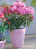 Rhododendron Ponticum 'Graziella' - Small-leaved Dwarf Grhododendron