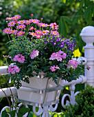 Argyranthemum 'Strawberry pink' (Marguerite), Verbena 'Lassico