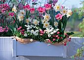 Tulipa 'Crispa' (Tulips, Narcissus (Daffodil), Bellis 'Rusher'