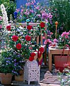 Rosa's L.D. Braithwaite '(English Rose)