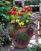 Tulipa 'Deshima' (tulip), Viola (pansy), Aubrieta