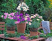Argyranthemum 'Summer Star', 'Pink', 'Dana' (Marguerite), Verbena
