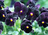 Viola cornuta sorbet 'Black Delight' (horn violet)