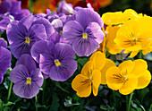 Viola cornuta 'Princess Blue' and 'Sorbet Yellow Delight'