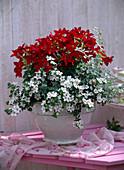 Nicotiana 'Tuxedo Red' (ornamental tobacco), Sutera (Bacopa) 'Mega White'
