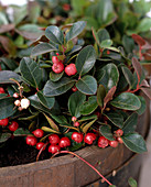 Gaultheria procumbens (wild berry)
