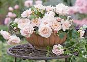 Rose 'New Dawn' (climbing rose) as a arrangement in clay bowl