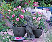 Rosa 'Gertrude Jekyll', 'Mary Rose'