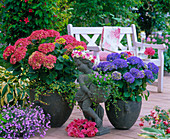 Hydrangea 'Paris', 'Adria' / Hortensien, Lobelia 'Lavender' / Männertreu