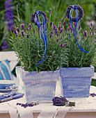 Lavandula 'Hidcote Blue' (lavender), lavender tassels on the rod