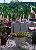 Datura 'Pink Favorite' (Angel Trumpet), Nemesia