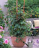 Rubus 'Tayberry' at the trellis, Dahlia