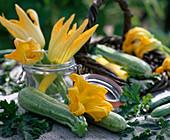 Cucurbita pepo (zucchini)