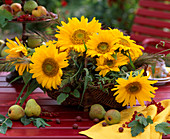Helianthus annuus (sunflower), panicum (millet)