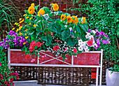 Helianthus 'Teddybär' (Sunflower)