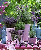 Lavandula 'Hidcote Blue' - Dwarf Blue ' and ' Munsted' lavender in pink pots