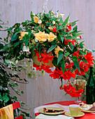 Begonia 'Illumination' (Garland Begonia) White, Yellow, Bright Red