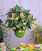 Begonia 'Illumination' (garland begonia) apricot and yellow