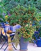 Citrus fortunella (kumquat)
