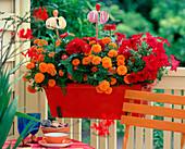 Tagetes (marigold), Zinnia