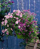 Hanging basket with Petunia 'Softrose' (petunia)