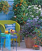 Solanum (gentian shrub, Plumbago (leadwort)