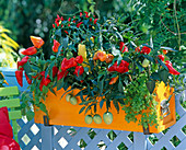 Capsicum (peppers and ornamental peppers)