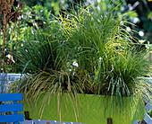 Carex muskingumensis (Cyperngrassegge), Acorus 'Ogon' (Goldkalmus), Calamagrosti