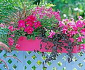 Pelargonium 'Salmon Rose' (geranium), Nicotiana (ornamental tobacco)