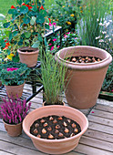 Tulip bulbs in the pot