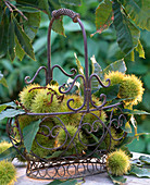 Castanea sativa (chestnuts, sweet chestnuts) with spiked shell in iron basket